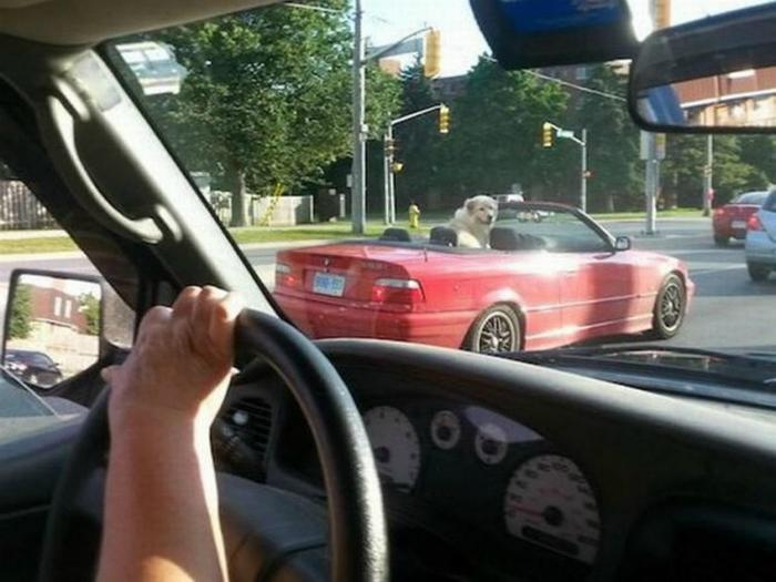 Даже собаки умеют водить кабриолет!