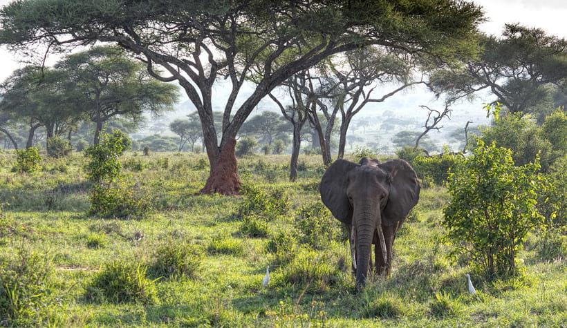 Огромный лесной слон, за которым пристально наблюдают птицы