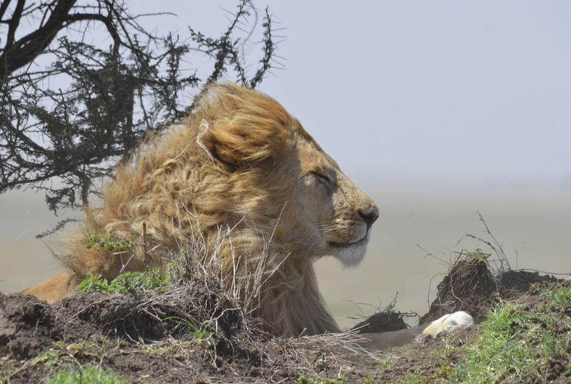 Царь зверей на отдыхе, Национальный парк Серенгети (Танзания)