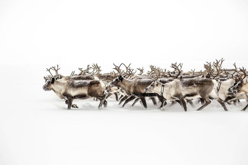 Стадо оленей, бегущее по заснеженным полям