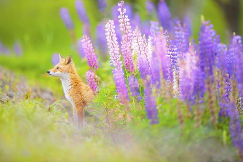 Лисица, выглядывающая из цветов