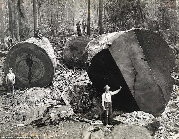 Лесорубы возле поваленных калифорнийских мамонтовых деревьев.