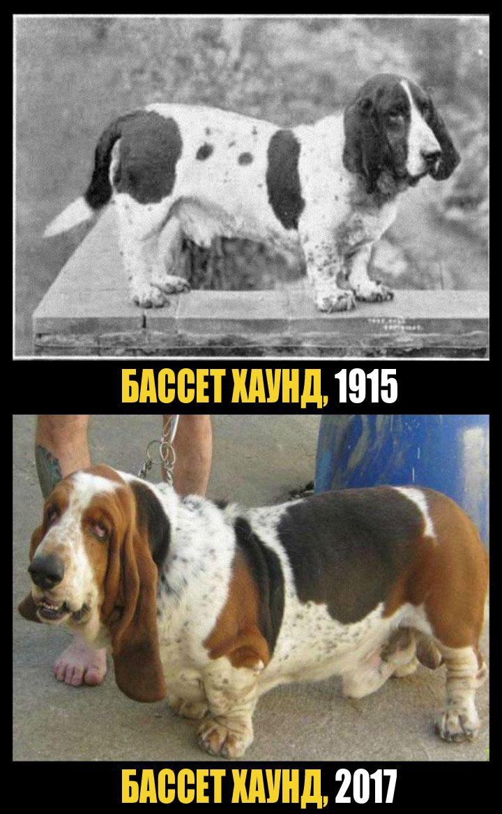 Бассет хаунд: невысокий и неповоротливый пёс. В симпатичных больших складках легко может появиться инфекция