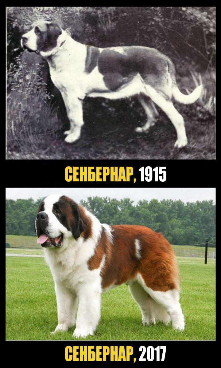 Сенбернар был крепкой собакой, приспособленной для работы. Сегодня это более приземистое животное с очень густой и тяжелой шерстью
