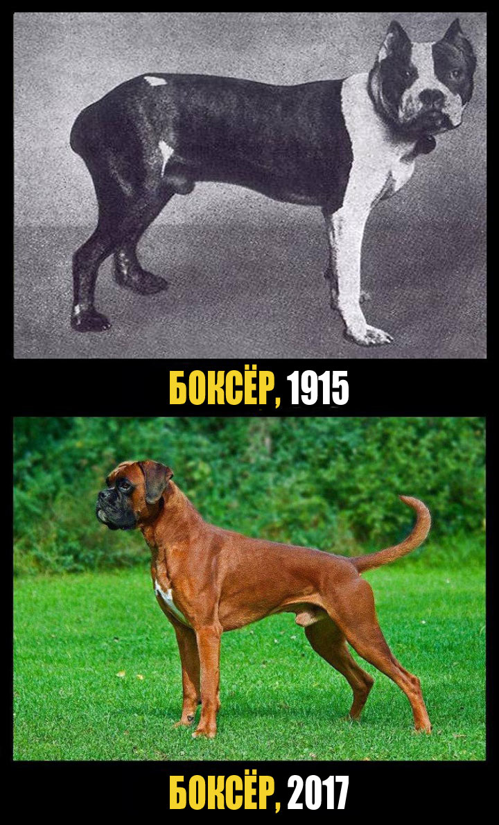 Время существенно изменило изгиб шеи боксера и длину его морды. Многие собаки больны эпилепсией из-за слишком маленького черепа