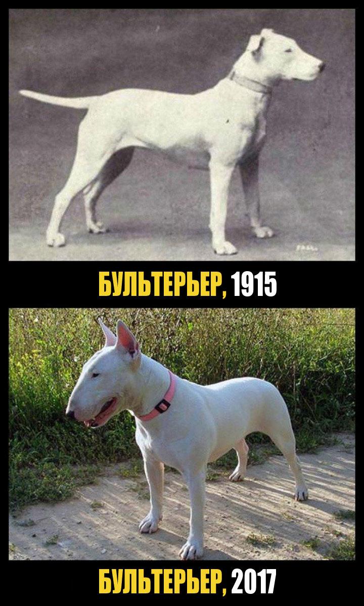 Череп бультерьера был изуродован в процессе селекции, что наложило свой отпечаток на слух собаки. Многие представители породы страдают от сердечно-сосудистых заболеваний или проблем с почками