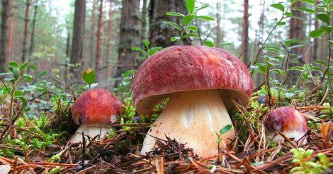 вырастить белые грибы