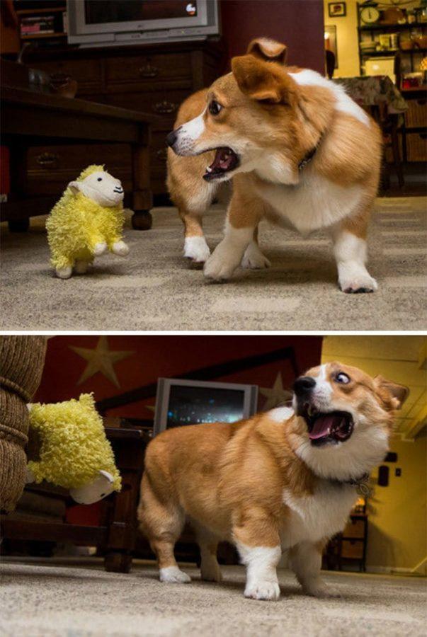 5. Эта прыгающая овечка действительно напугала его