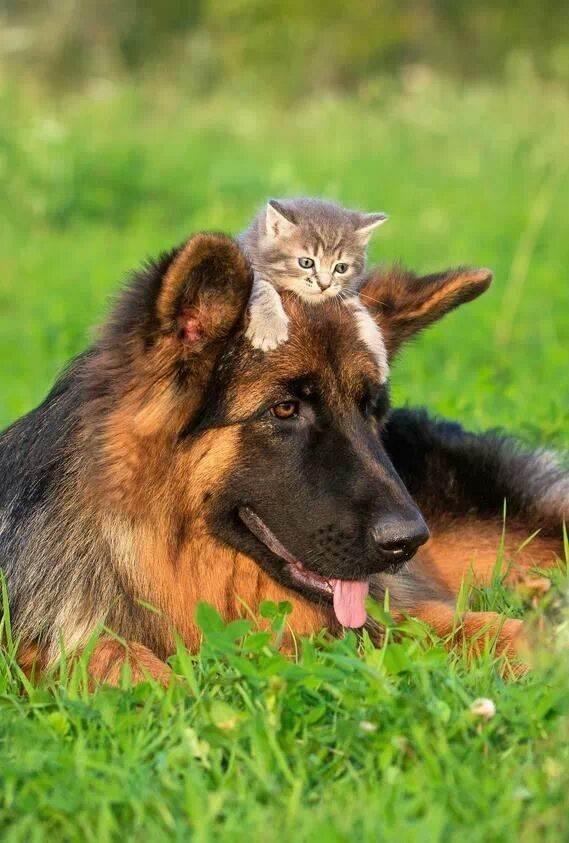 Овчарки отлично уживаются с другими животными…