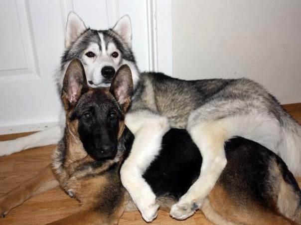 … и с собаками других пород