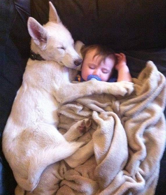 Немецкие овчарки — идеальные охранники и сторожа как для человека, так и для дома