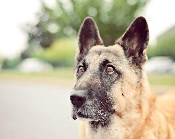 Многие владельцы немецких овчарок утверждают, что их питомцы понимают настроение хозяина по выражению его лица