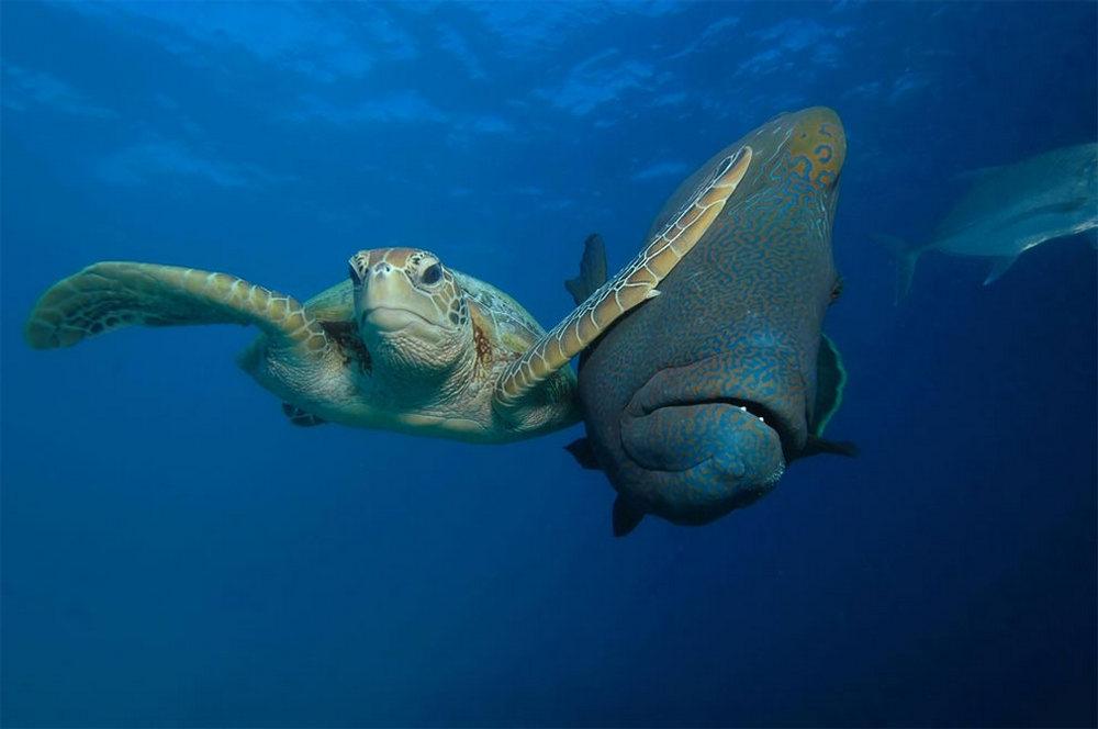 Зелёная черепаха и рыба-наполеон (губан маори). Автор фото: Трой Мэйн