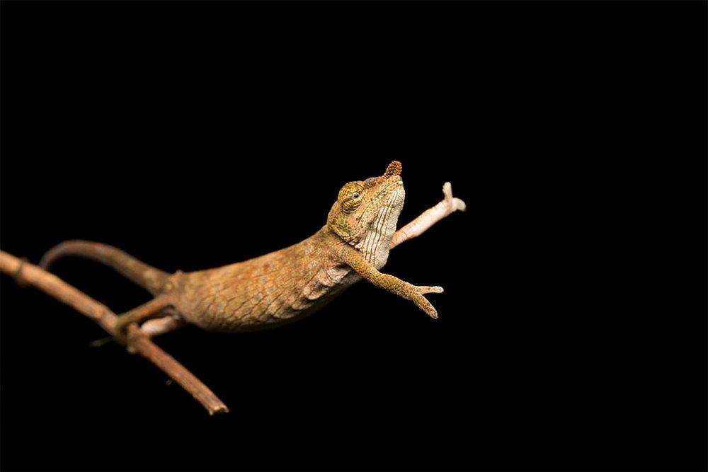 Носатый хамелеон танцует на кончике ветки в Андасибе, Мадагаскар. Автор фото: Жасмин Винк