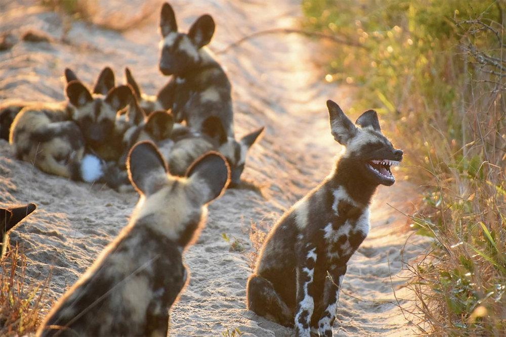 Африканские дикие (гиеновидные) собаки в Парке слонов Тембе, Южная Африка. Автор фото: Тина Стер