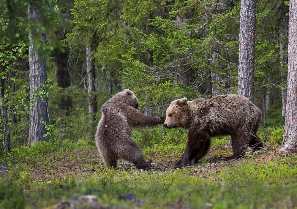 Медведица играет со своим медвежонком в финских лесах, в коммуне Суомуссалми. Автор фото: Ханнеле Кайхола