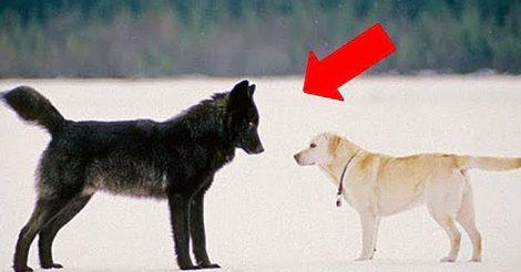 волк подошел