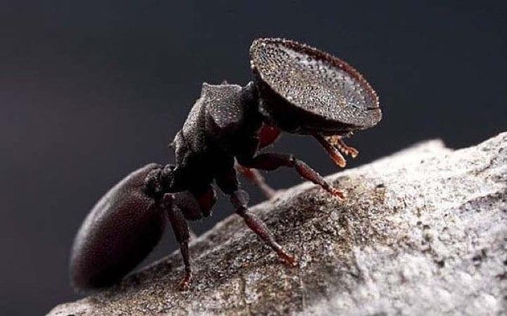 Муравей с плоской головой из рода древесных муравьев. Голова такой формы не позволяет чужакам попасть в их муравейник