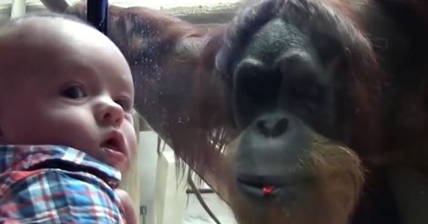 Орангутанг приблизился