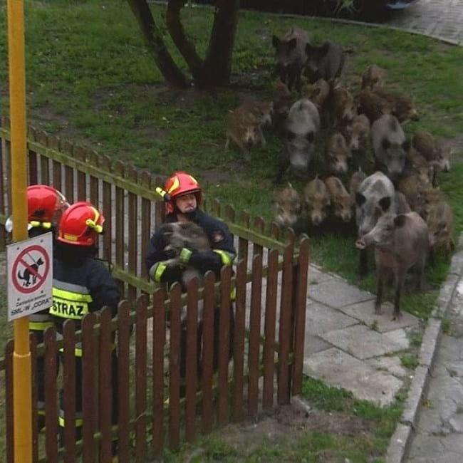 10. А это семья диких кабанов пришла посмотреть на спасение малышей, застрявших в заборе. Ни один человек не пострадал!