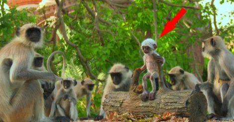 обезьянам куклу