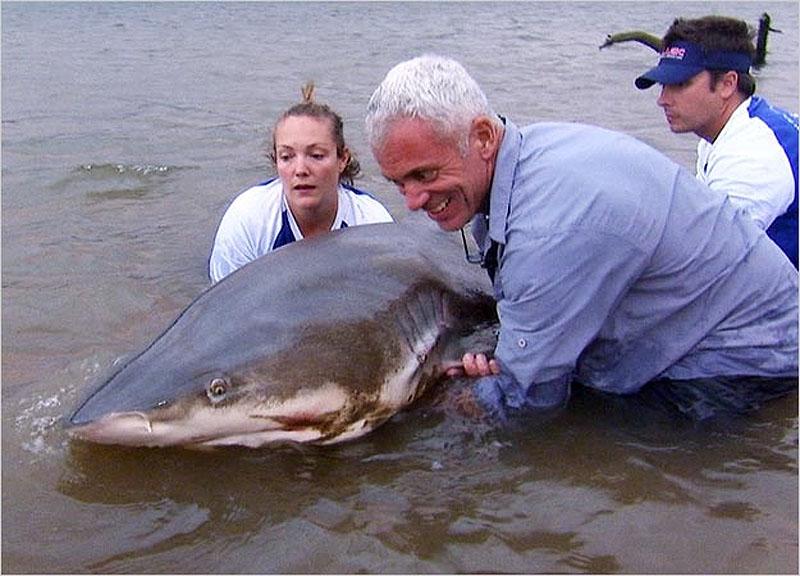 3. Огромная шестижаберная акула, пойманная в южной части африканской реки Замбези.