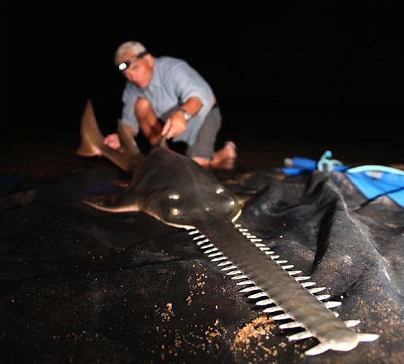 5. Пресноводная рыба-пила, которая вырастает до 6 метров в длину и весит до 180 кг.