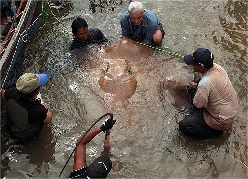 7. Большой пресноводный скат. Эта 180-килограммовая рыба стала самой большой, которую Джереми Уэйду удавалось поймать.