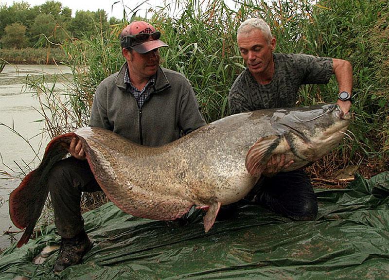 18. Обыкновенный сом весом 74 кг и длиной 2,2 м.