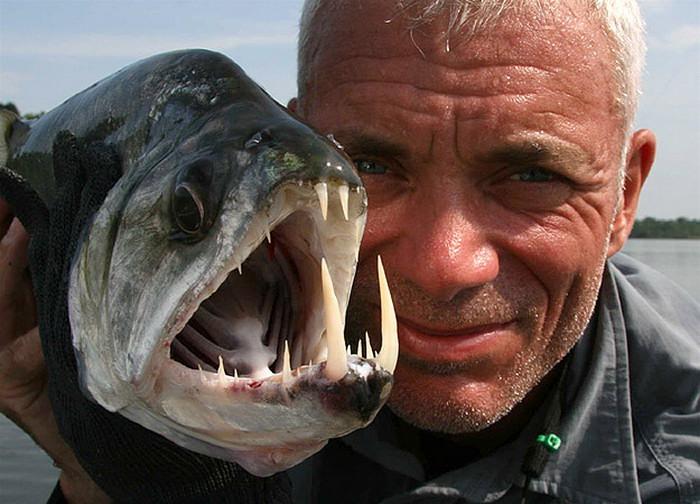 21. Близкий родственник пираньи — скумбриевидный гидролик, которого часто называют рыбой-вампиром из-за его длинных клыков, которые могут быть до 15 см в длину. Обитает эта прекрасная рыбка в реке Ориноко в Венесуэле.