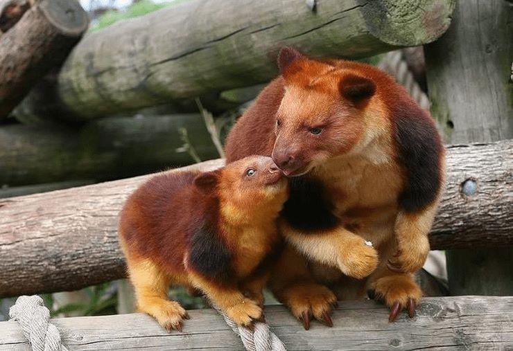 Такие кенгуру обитают в Австралии и в Новой Гвинее. Они входят в группу древесных кенгуру.