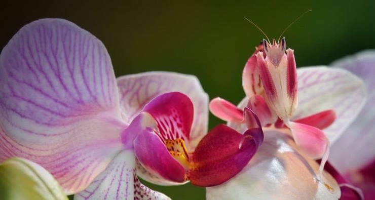 Богомол, который в точности напоминает орхидею.