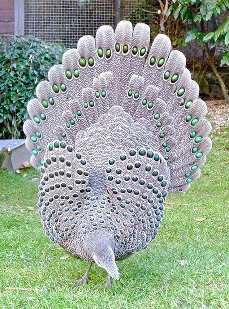 Посмотрите на этого павлина-фазана. Будто смешала павлина и фазана.