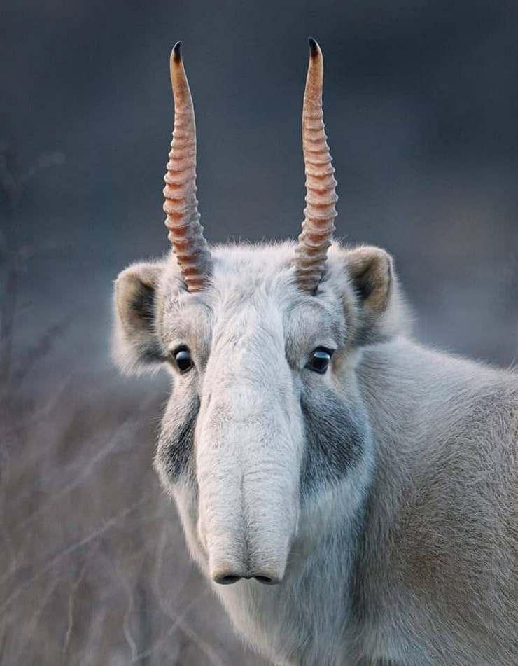 А это сайгак что-то среднее между слоном и козой.