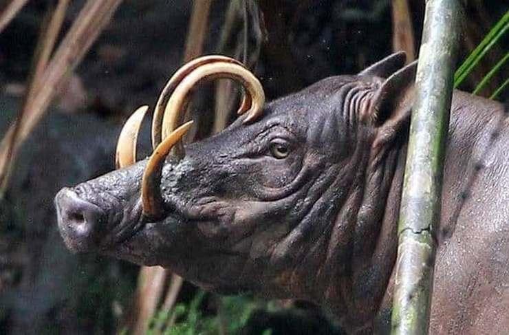 Бабирусса хоть и похожа на кабана и свинью, но это совершенно другое животное.