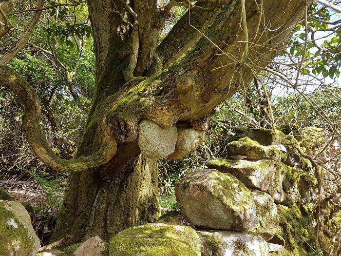 Дерево вырвало и утащило камни из кладки по мере своего роста
