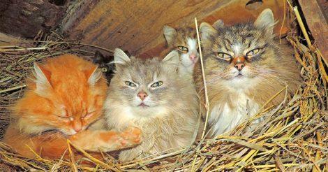 сибирских котов