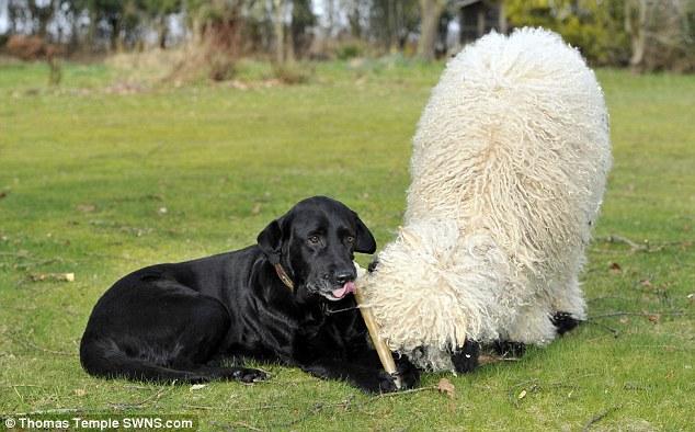 У него-то Марли и нахватался собачьих привычек и, выздоровев, провозгласил себя собакой