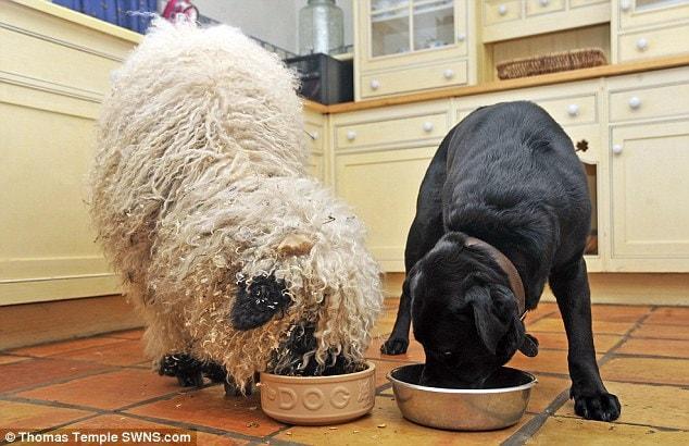 Кто же знал, что Марли предпочтёт сочной травке собачий корм!