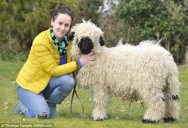 Теперь овцу приходится заново учить быть овцой, потому что плотное общение Марли с Джесс (которая ухаживала за ягнёнком во время его болезни) уверило его в том, что он самый настоящий пёс