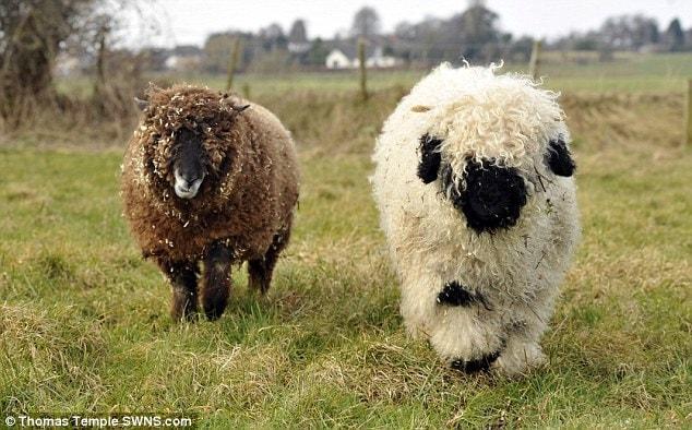 Чтобы превращение Марли из пса в овцу шло стремительнее, его хозяева завели ещё одну овцу — Беар. Теперь у шестимесячного Марли будет товарищ, который, по расчётам Али и Макса, покажет ему положительные стороны в том, чтобы быть овцой!