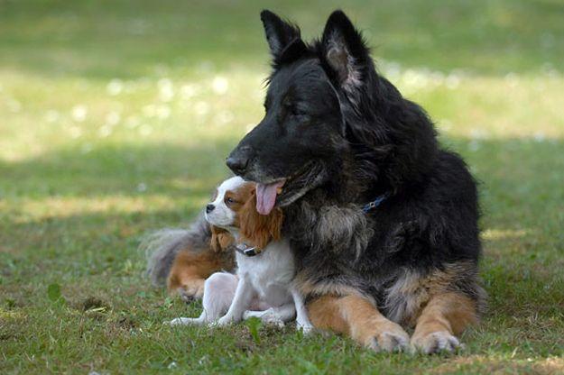 8. Немецкие овчарки недружелюбны и не любят других псов.