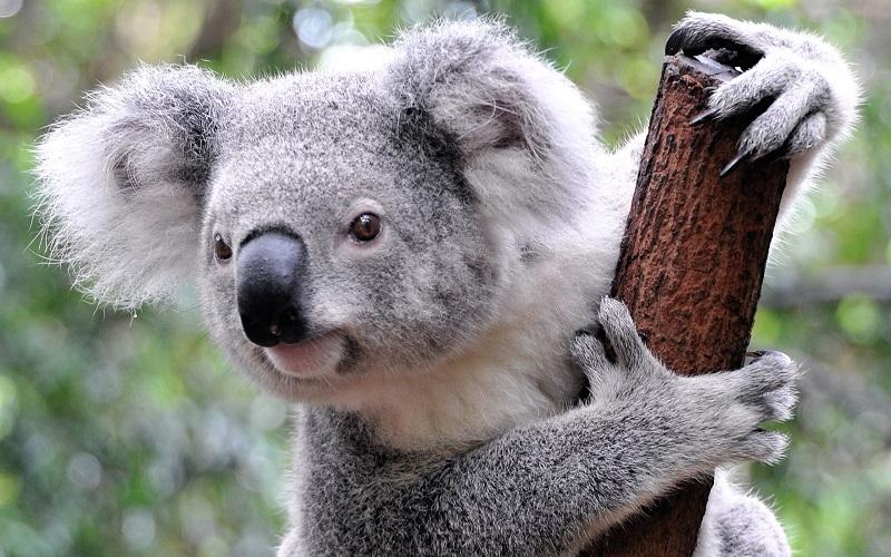 3. Отпечатки пальцев коалы нельзя отличить от человеческих отпечатков, даже если рассматривать их под микроскопом.