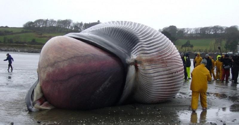 7. Сердце голубого кита настолько большое, что ребенок мог бы спокойно подплыть к нему по артериям животного.