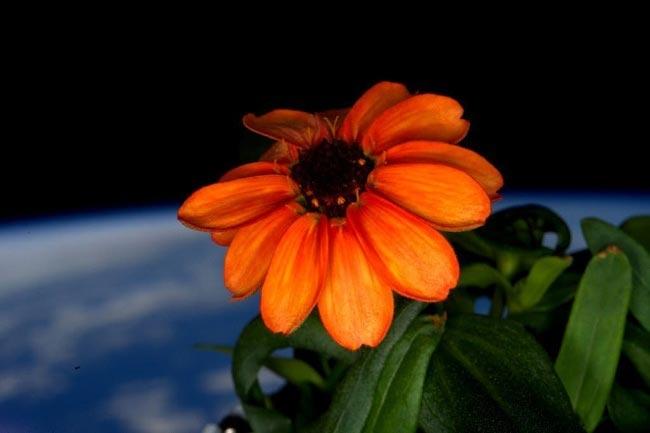 Первый цветок, который вырос в космосе