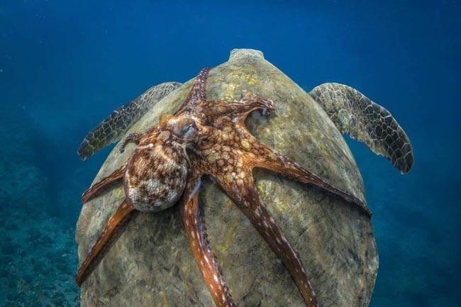 Просто осьминог катается на черепахе