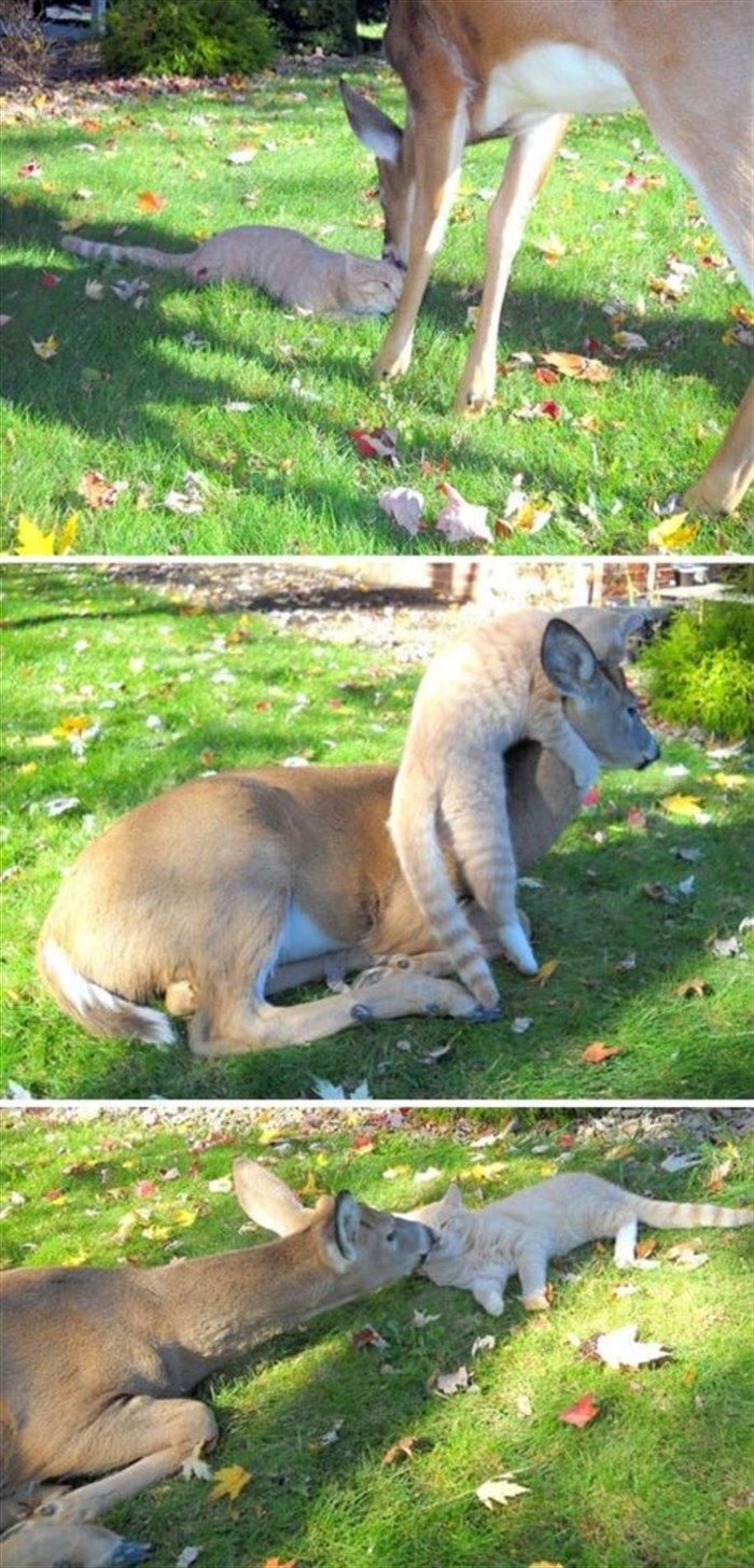 1. Олень каждый день заходит в гости и уже подружился с котом.