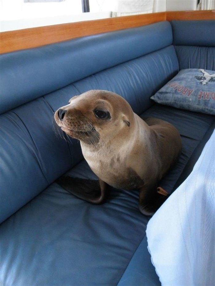 5. Этот милаха запрыгнул на яхту и прямиком направился на диван в каюте.
