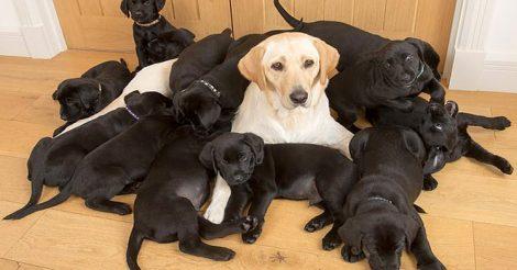 Золотистому лабрадору 13 щенков
