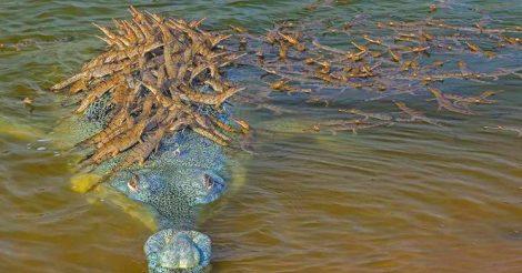 Огромный крокодил
